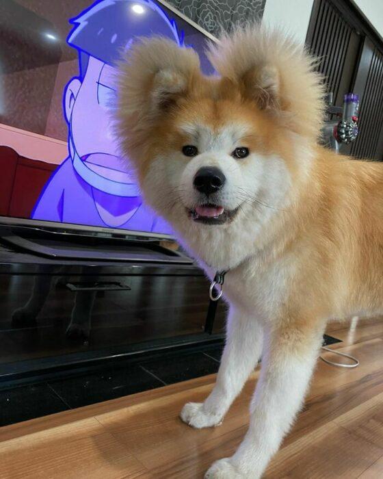 Perro viendo el televisor ;Perro akita con rostro en forma de corazón enternece a internet con sus fotos