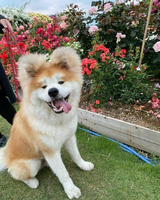Perro en el jardín ;Perro akita con rostro en forma de corazón enternece a internet con sus fotos