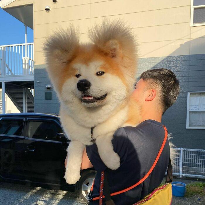 Perro siendo cargado ;Perro akita con rostro en forma de corazón enternece a internet con sus fotos