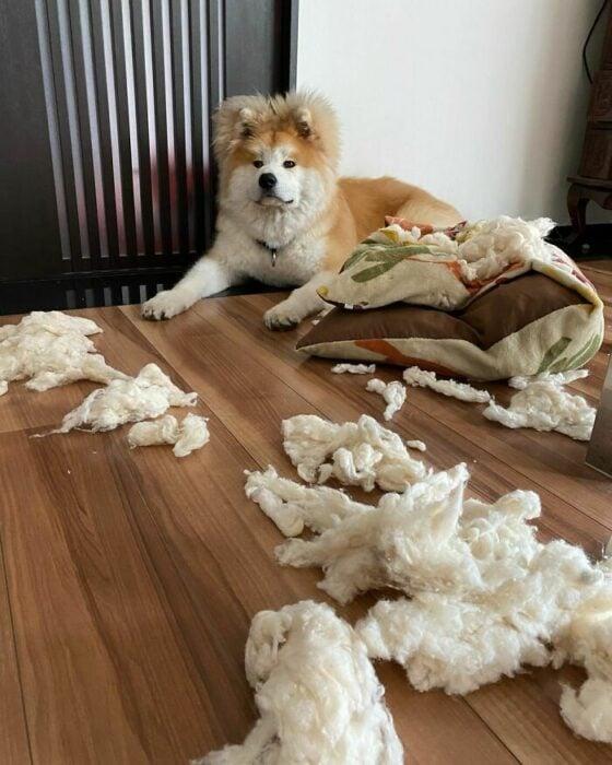 perro destruyendo un peluche ;Perro akita con rostro en forma de corazón enternece a internet con sus fotos