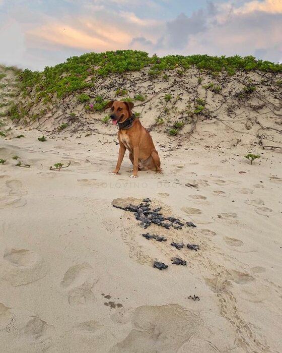 Perrito ayudando a las tortugas a llegar a la orilla del mar