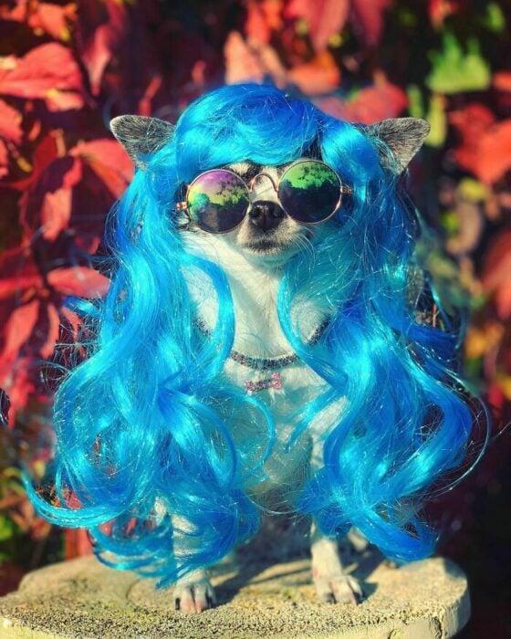 Perro chihuahua con peluca azul ;Personas publican fotos de perritos con pelucas y el resultado alegra a internet