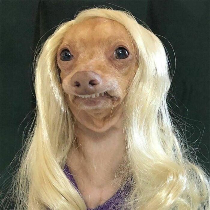 Perro con peluca rubia ;Personas publican fotos de perritos con pelucas y el resultado alegra a internet