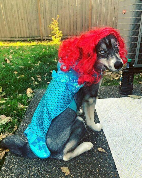 Perro disfrazado como la sirenita ;Personas publican fotos de perritos con pelucas y el resultado alegra a internet