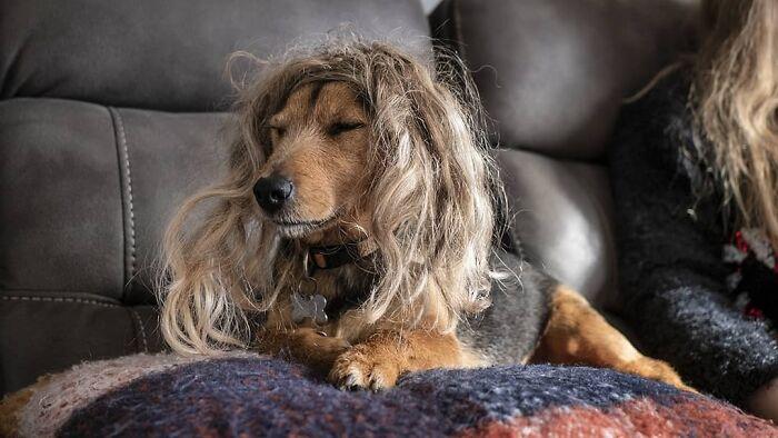 Perro con caireles dorados ;Personas publican fotos de perritos con pelucas y el resultado alegra a internet