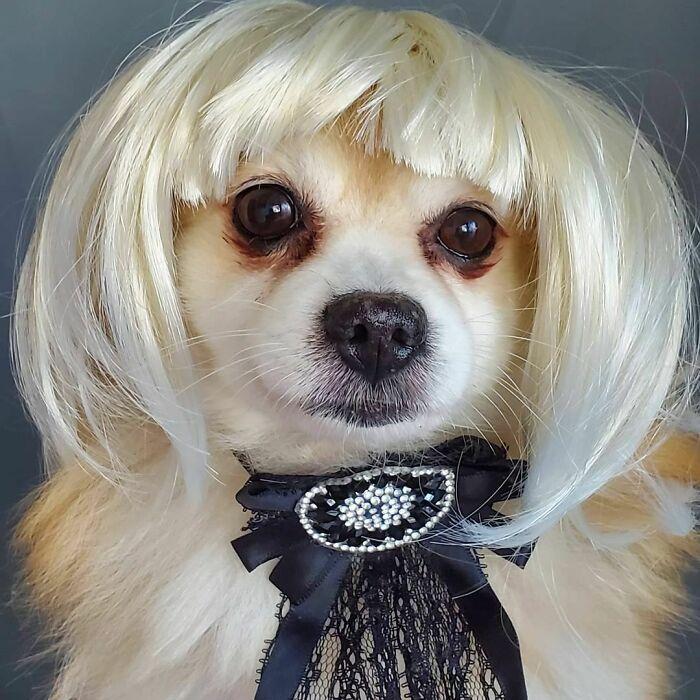 Perro miniatura con melena corta ;Personas publican fotos de perritos con pelucas y el resultado alegra a internet