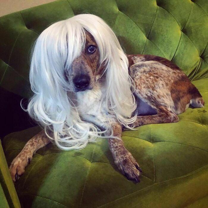 Perro con peluca blanca ;Personas publican fotos de perritos con pelucas y el resultado alegra a internet