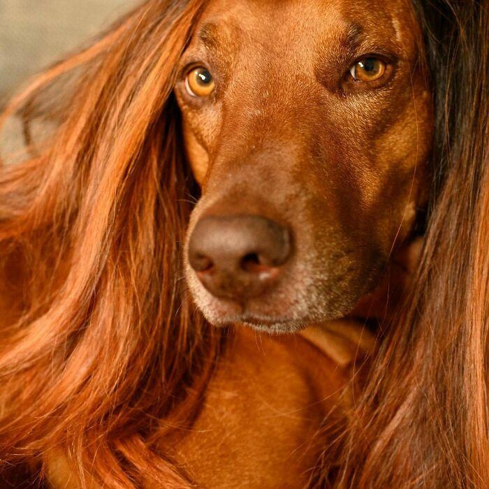 Perro de raza grande con peluca castaña ;Personas publican fotos de perritos con pelucas y el resultado alegra a internet