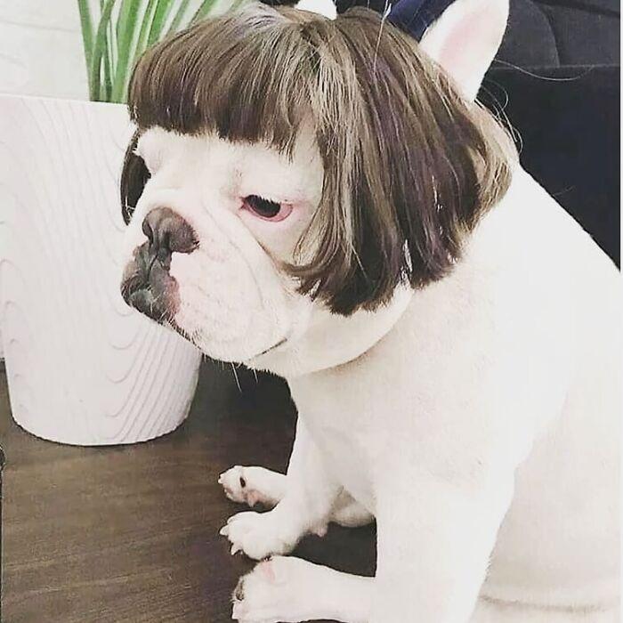 Perro pequeño con peluca corta ;Personas publican fotos de perritos con pelucas y el resultado alegra a internet