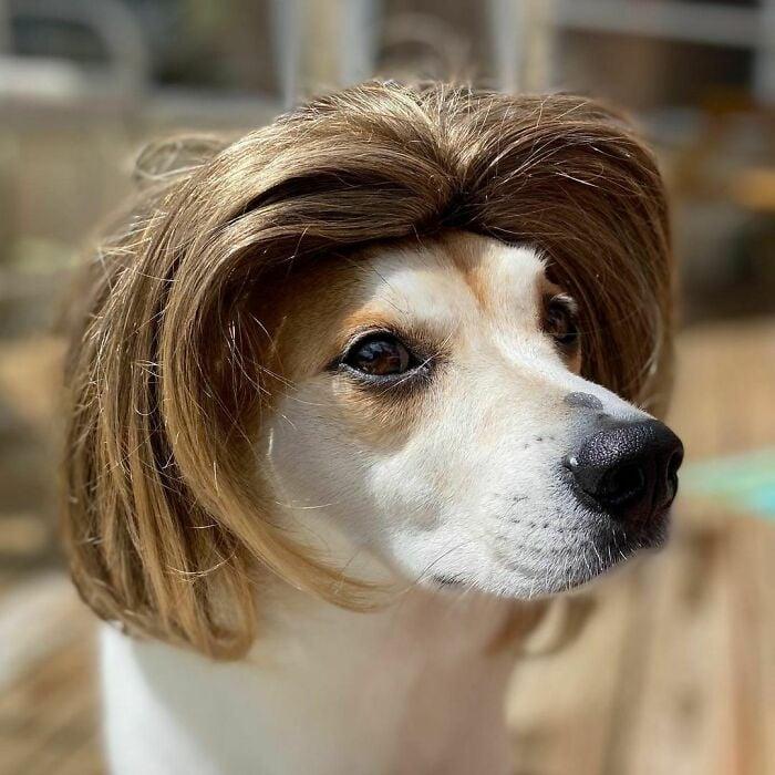 Perro con peluca en melena ;Personas publican fotos de perritos con pelucas y el resultado alegra a internet
