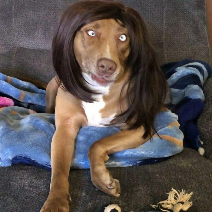 Perro con peluca de cabello largo ;Personas publican fotos de perritos con pelucas y el resultado alegra a internet