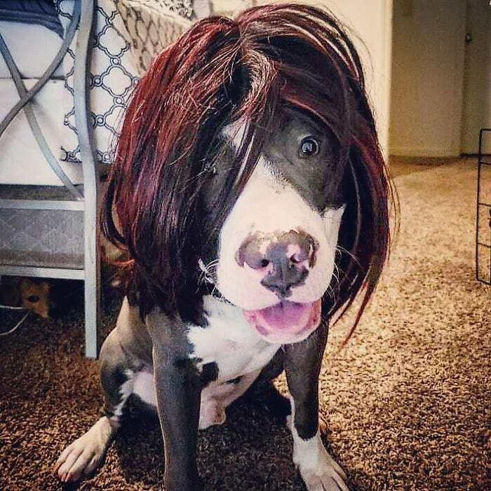 Perro con peluca rojiza ;Personas publican fotos de perritos con pelucas y el resultado alegra a internet