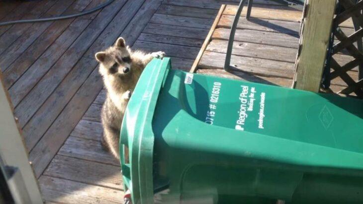 Mapache revisando la basura ;15 Vecinos tan molestos que no te gustaría vivir en su vecindario