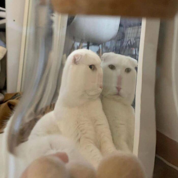 Gato mirándose en un espejo