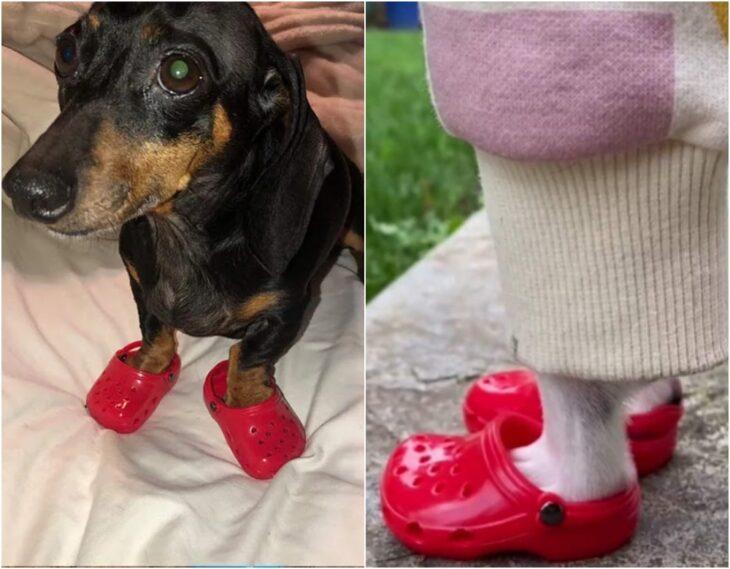 Perro usando zapatos estilo crocs; Lanzan zapatos tipo Crocs para mascotas e internet no sabe qué opinar al respecto