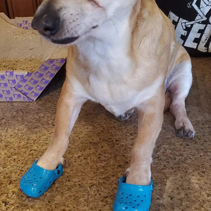 Perro con zapatos estilo Crocs; Lanzan zapatos tipo Crocs para mascotas e internet no sabe qué opinar al respecto