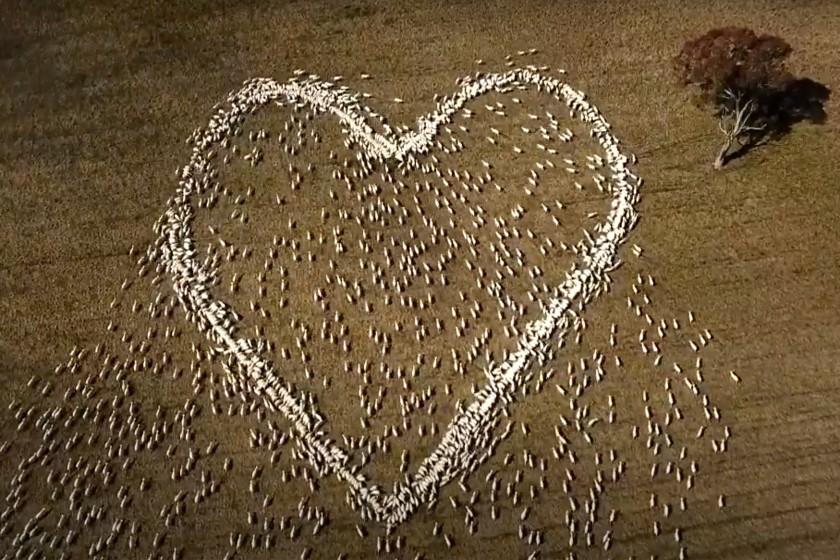 Ovejas formando un corazón; Le rindió homenaje a su tia formando un corazón con sus ovejas