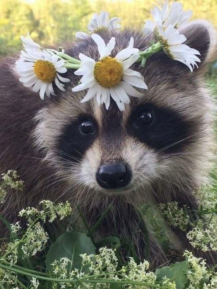 Mapache con corona de flores ;20 Mapaches en situaciones tan divertidas que te harán sonreír