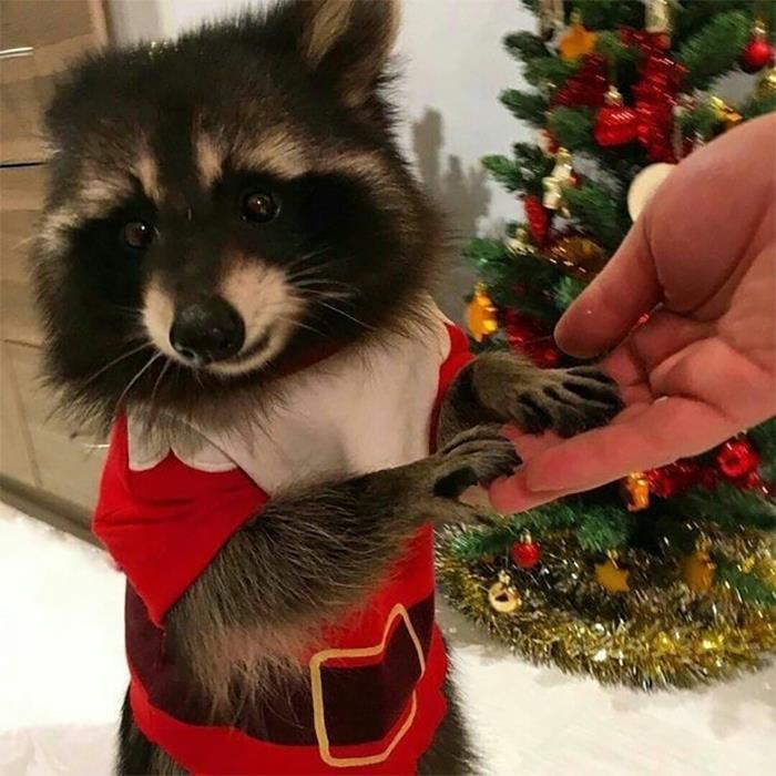 Mapache con traje de Navidad ;20 Mapaches en situaciones tan divertidas que te harán sonreír