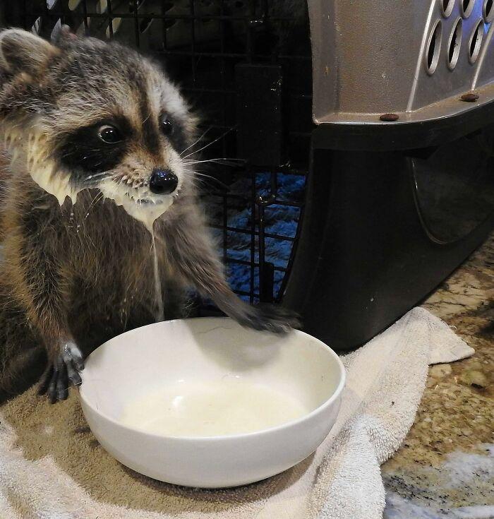 Mapache bebiendo leche ;20 Mapaches en situaciones tan divertidas que te harán sonreír