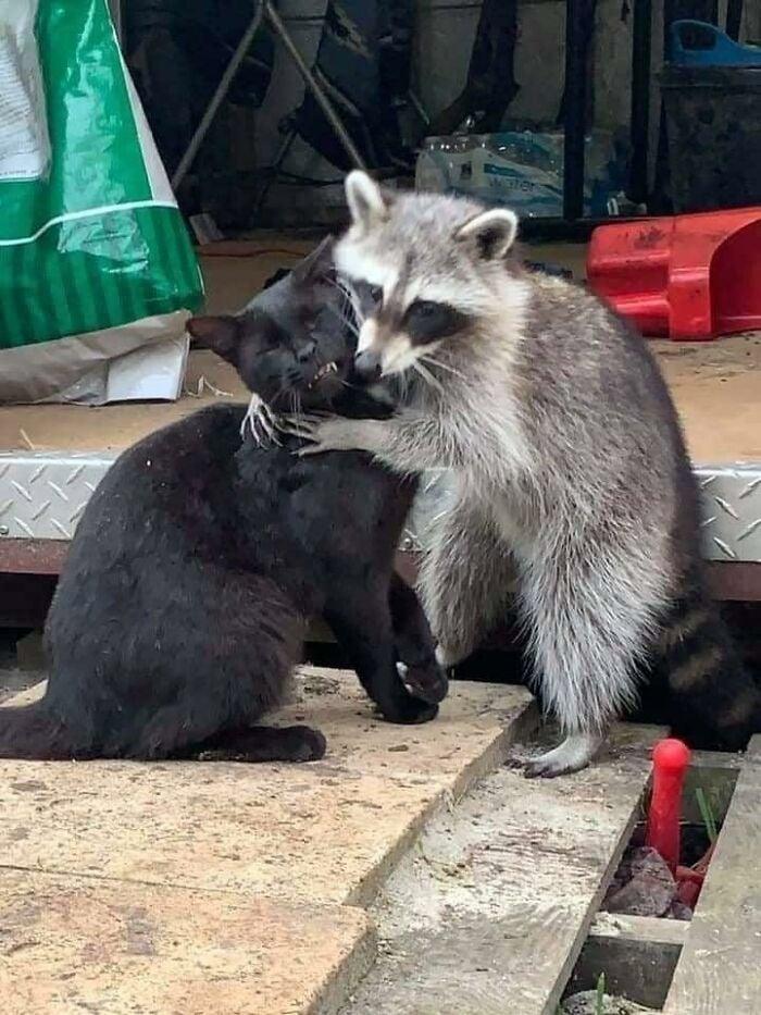 Mapache abrazando gato ;20 Mapaches en situaciones tan divertidas que te harán sonreír