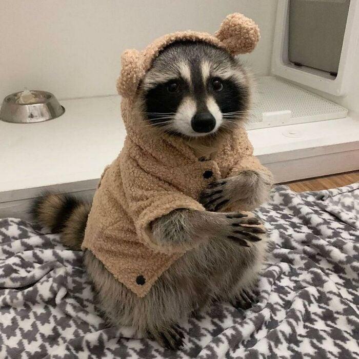 Mapache con suéter ;20 Mapaches en situaciones tan divertidas que te harán sonreír