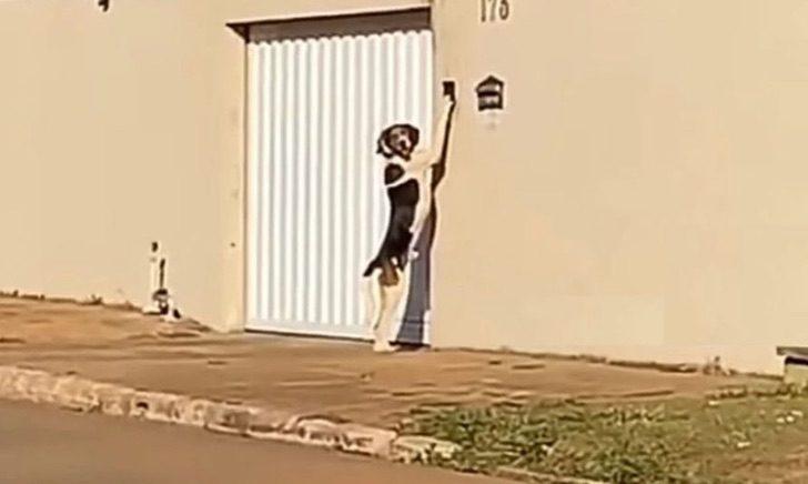 Perrito captado tocando el timbre de la puerta
