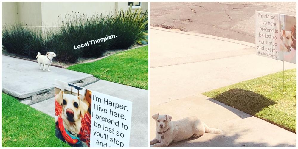 """Perro sentado frente a un anuncio convencional; Perro """"estafador"""" finge estar perdido para que le hagan cariño"""