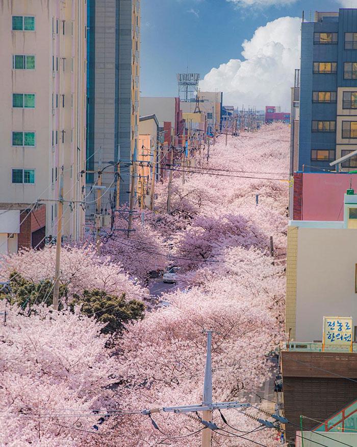 Cerezos en flor; Corea es de otro mundo y estas fotos lo prueban