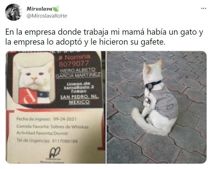 tuit; Empresa mexicana 'contrata' gatito como lo vigilante; ¡hasta le dieron su gafete!
