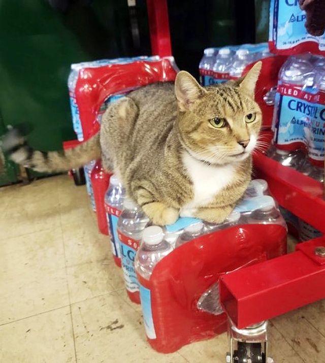 Gato sobre refrescos ;17 Pruebas de que los gatos siempre hacen lo que quieren
