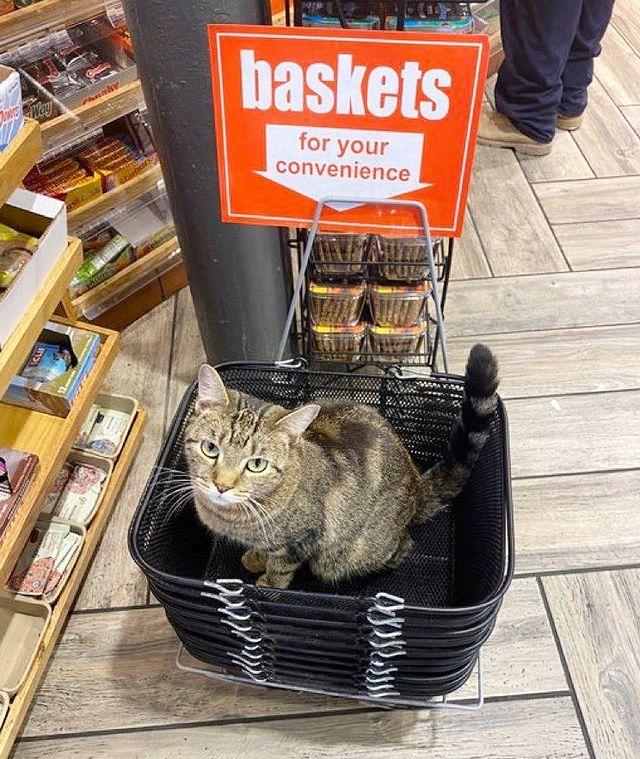 gato dentro de una cesta ;17 Pruebas de que los gatos siempre hacen lo que quieren