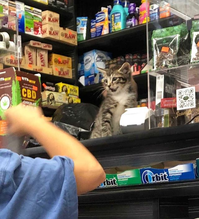 Gato en una tienda comercial ;17 Pruebas de que los gatos siempre hacen lo que quieren