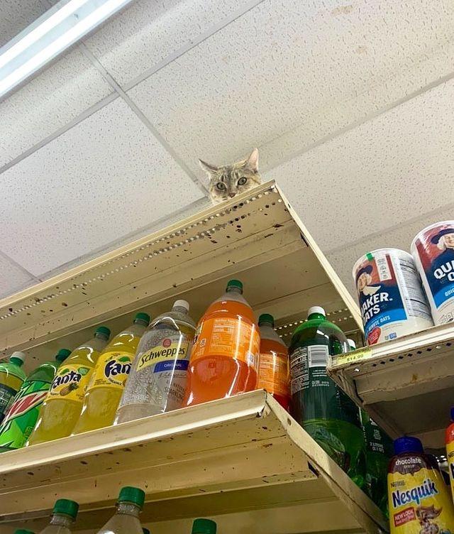 gato sobre un estante ;17 Pruebas de que los gatos siempre hacen lo que quieren