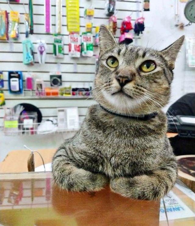 gato en un mostrador ;17 Pruebas de que los gatos siempre hacen lo que quieren