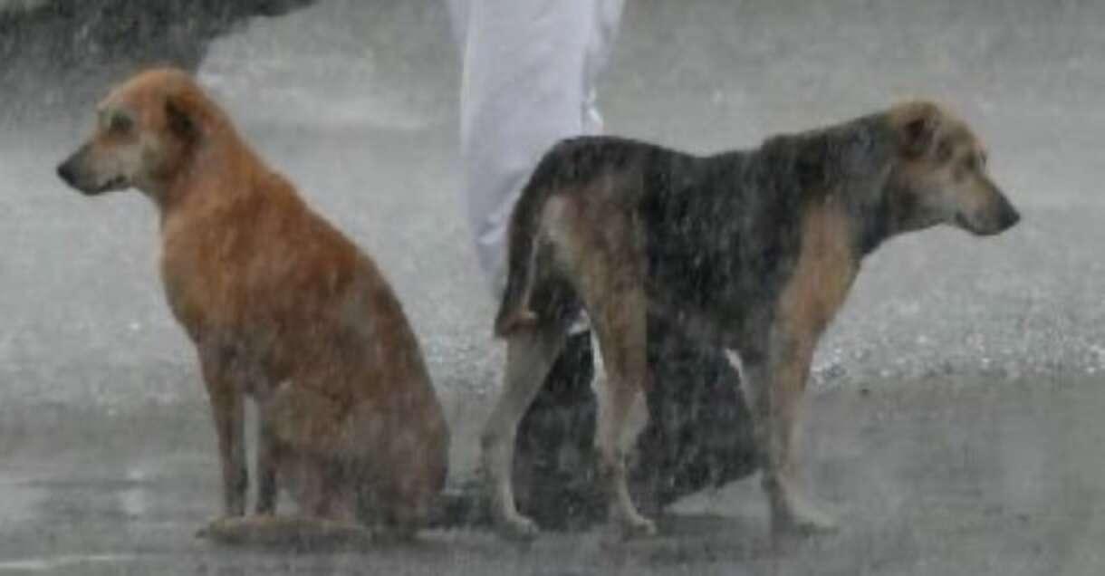 Perritos bajo la lluvia; Perritos sin hogar buscan refugio de la lluvia bajo el paraguas de un policía