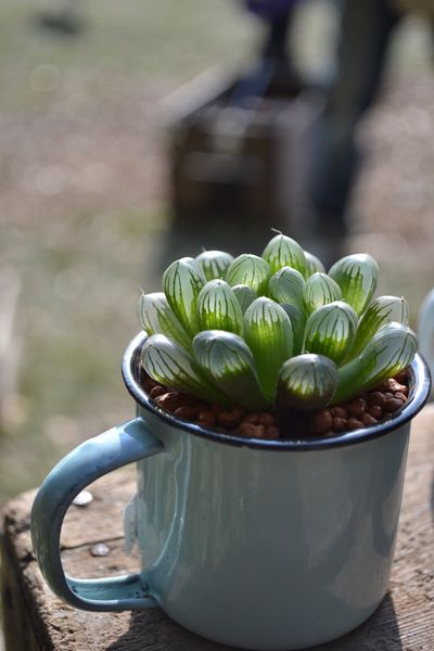 suculenta en vaso; Estas suculentas transparentes son tan divinas que merecen un espacio en tu casa