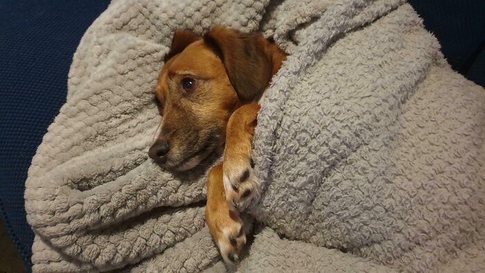 perrito cobijado ;19 Mascotas rescatadas que te alegrarán el día