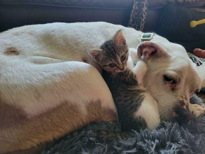 Gatito recostado junto a un perro ;19 Mascotas rescatadas que te alegrarán el día