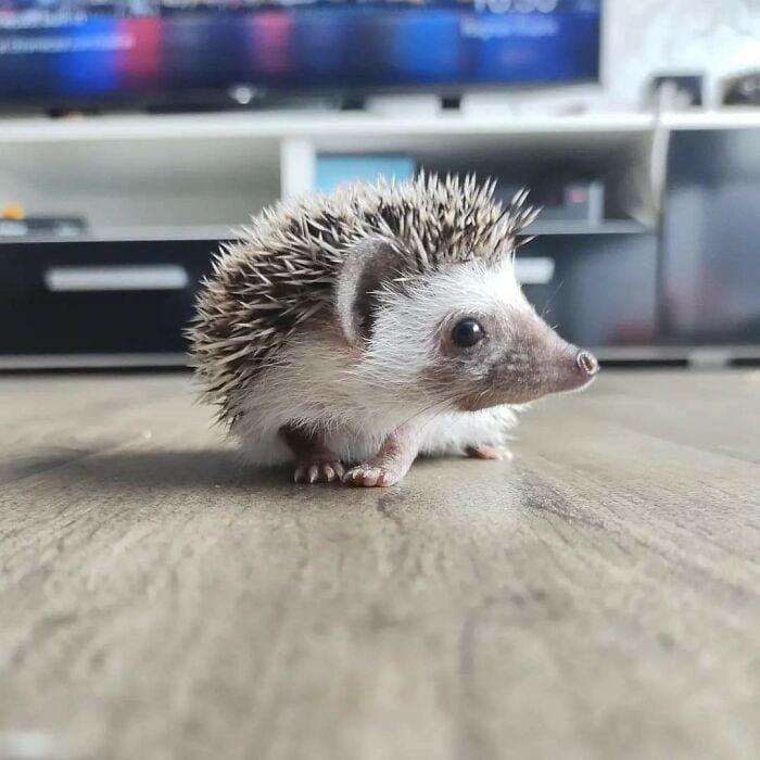 puercoespín ;19 Mascotas rescatadas que te alegrarán el día