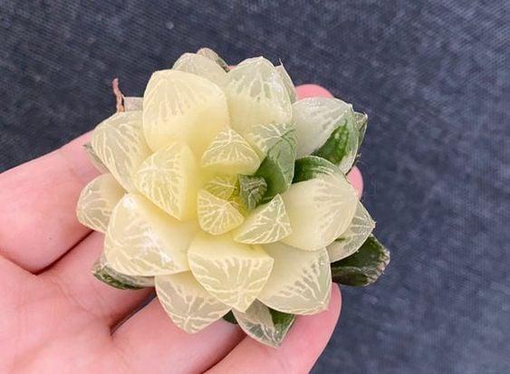 suculenta blanca; Estas suculentas transparentes son tan divinas que merecen un espacio en tu casa