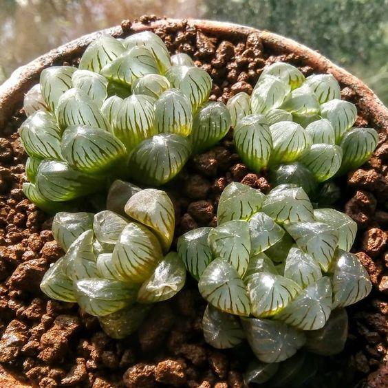 macetita con suculenta Haworthia cooperi; Estas suculentas transparentes son tan divinas que merecen un espacio en tu casa